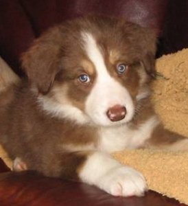 a brown and white Border pup
