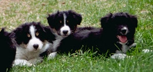 three black and white Border pups